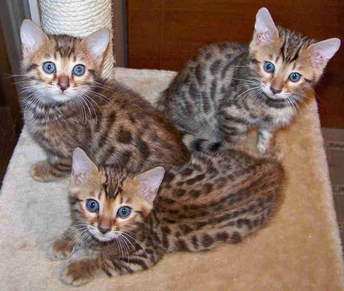Leopard kittens the most amazing creatures on the earth - Chaton bengal gratuit ...