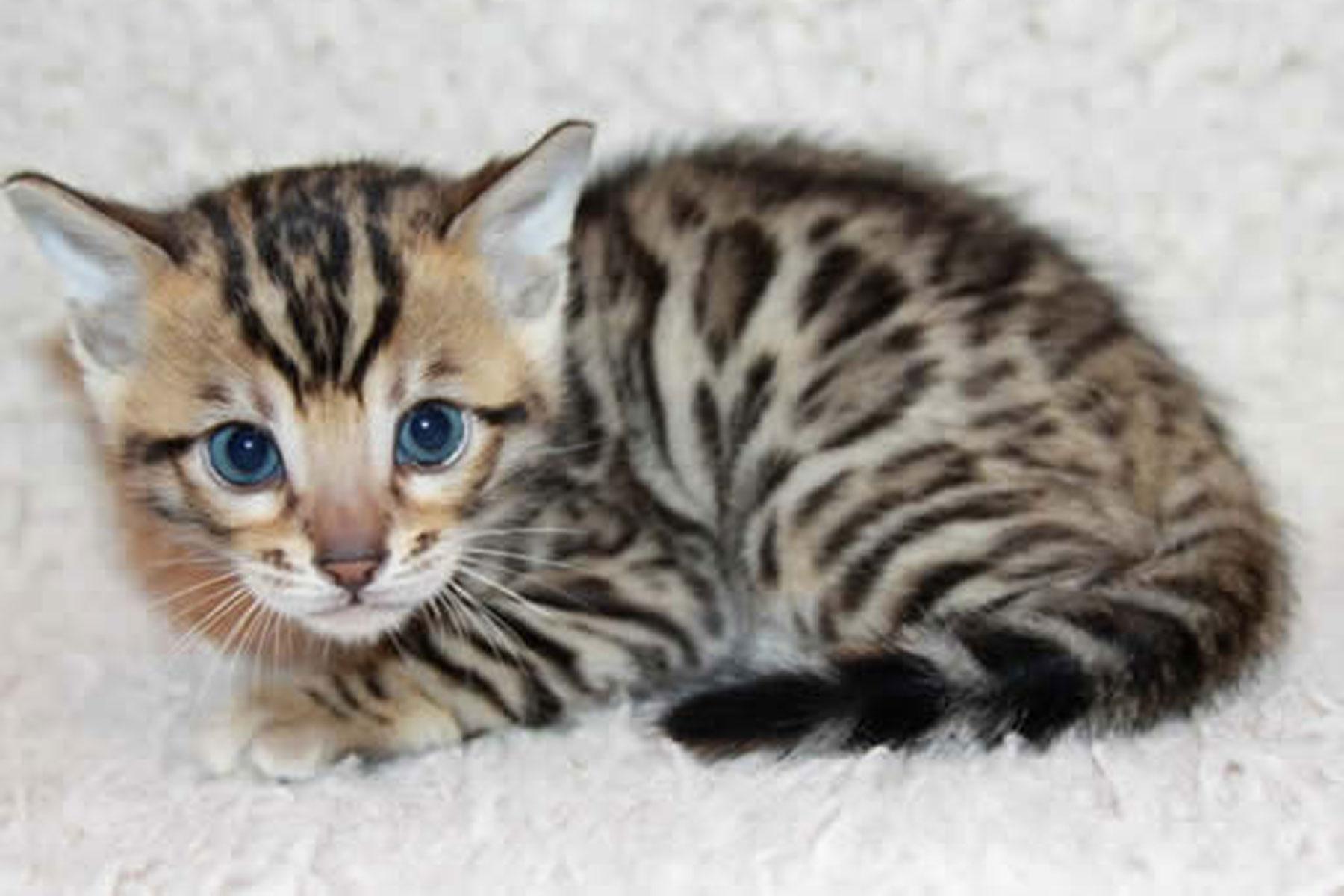 Image Gallery leopard kittens
