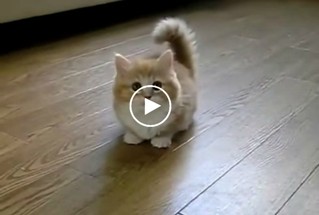 Fluffy Kitten Does Not Know What To Do