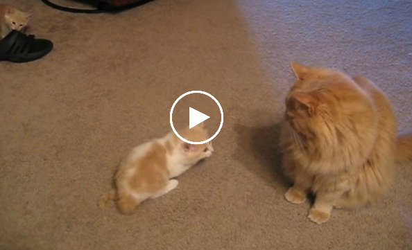 This Kitten Is Trying To Play With A Big Cat