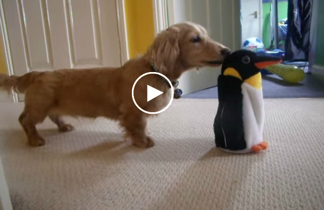 Dachshund Gets So Confused When Meeting This Penguin For The First Time