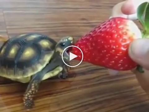 A Cute And Tiny Tortoise Eating A Strawberry